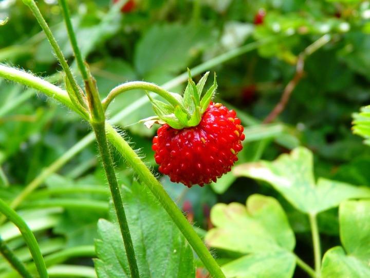 strawberry-7649_960_720